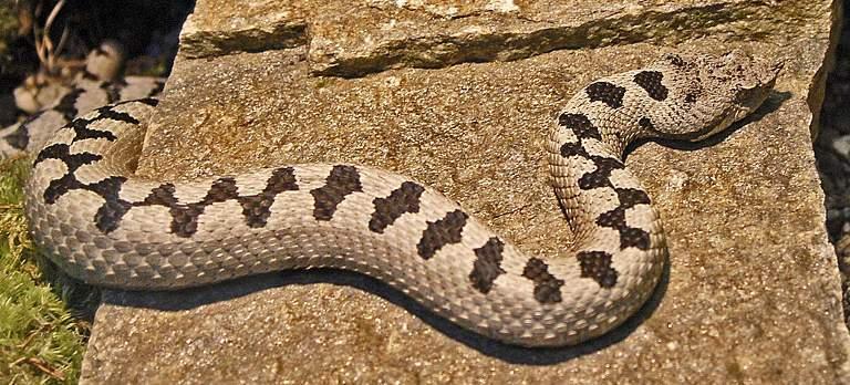 Die Familie der Vipern (Viperidae) - Schlangen in Deutschland
